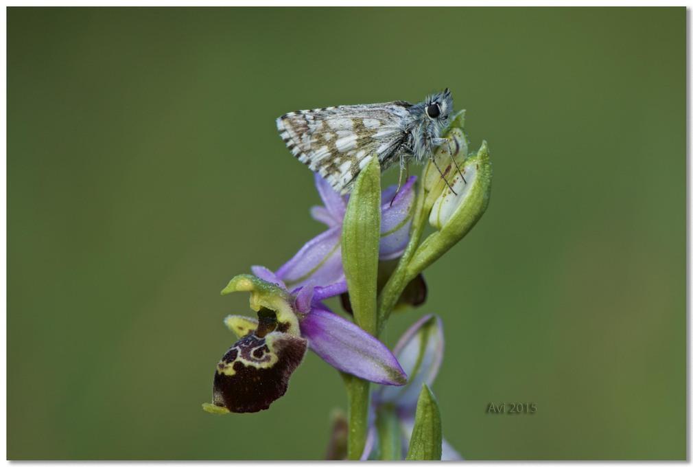 Orchidées découvertes ce matin le long d'un pré : merveilleux