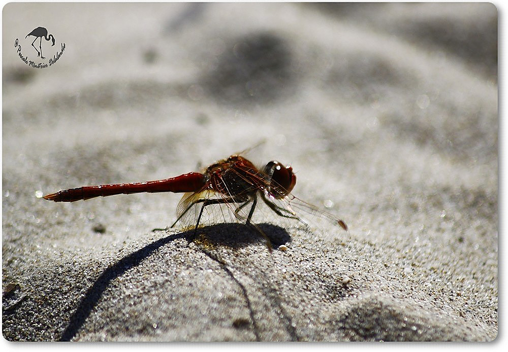 Libellule Sympétrum de Fonscolombe (Sympetrum fonscolombii) mâle... Sur le sable.