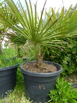 trachycarpus fortunei n°4 en pot