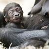 Ce bébé gorille est le quatrième enfant de Kijivu