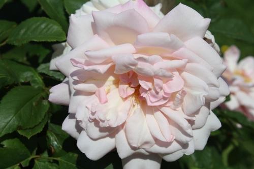 Rosiers en fleurs - épisode 1