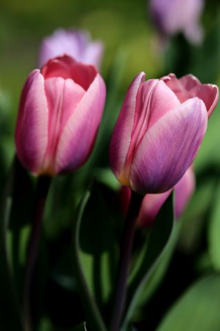 Tulipes 2020 : Light and Dreamy