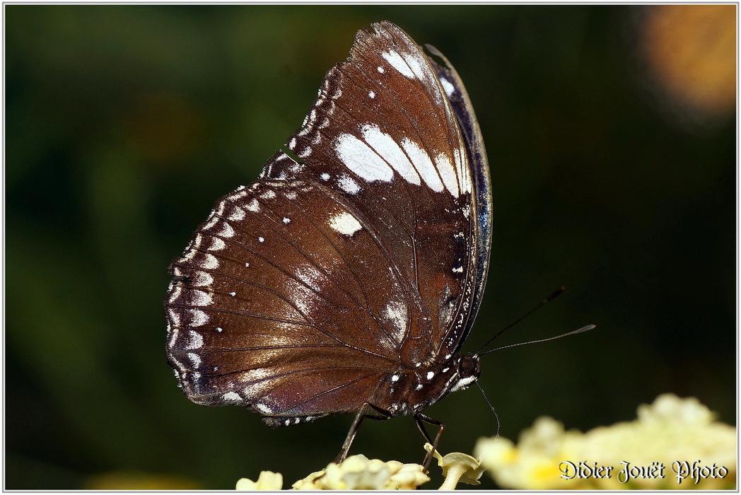 Bolina / Hypolimnas bolina