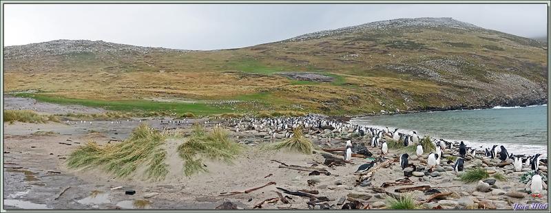 Grave Cove : le domaine des Manchots papous, Gentoo Penguin (Pygoscelis papua) - West Falkland (Malvinas, Malouines) - Grande-Bretagne
