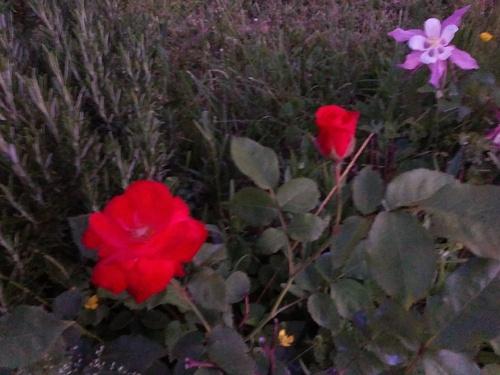 Départ demain, une rose pour la route !