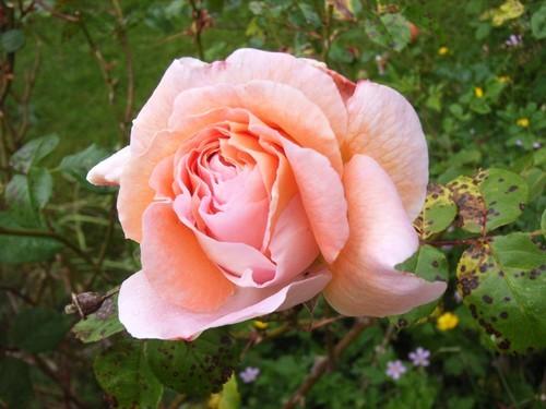 rose-1erjuin.jpg