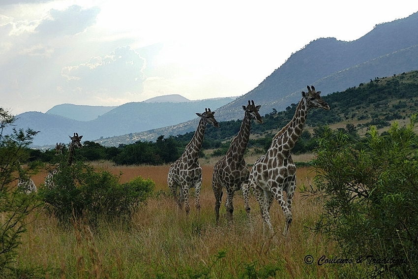 2 Familles de girafes