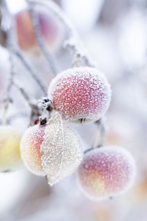 "sweetmomentslove:""  frost on an apple tree"""
