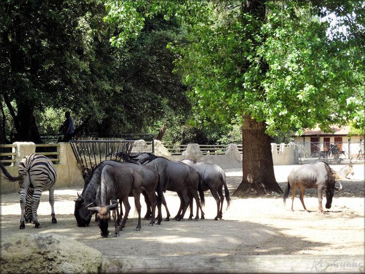 Photo de Gnou bleu du Zoo de la Palmyre