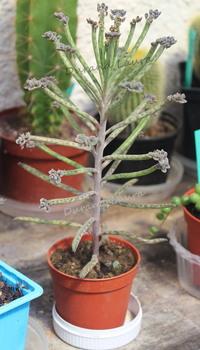 kalanchoe Delagoensis ou Tubiflora