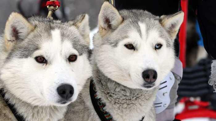 Les chiens de traîneaux, en Haute-Savoie