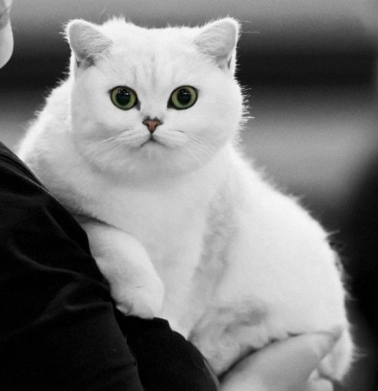 british-shorthair-cat-white