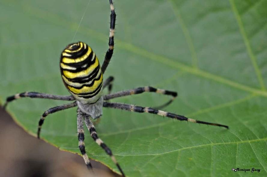 DSC6288-araignée-argiope-f