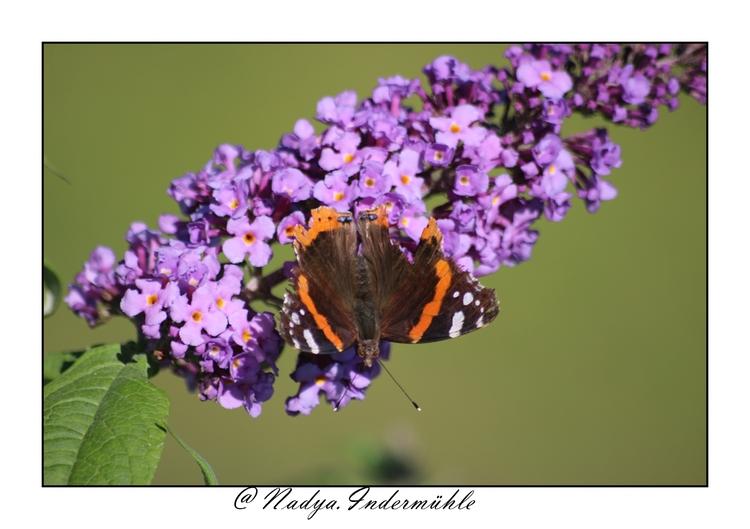 Le vulcain, superbe papillon
