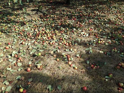 - Pommes 2018 : gaulage OK