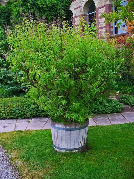 Plant de verveine. © H. Zell, CC by-nc3.0
