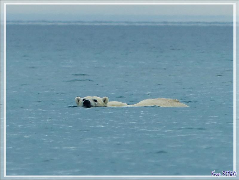 Pendant l'observation de l'ourse et de l'ourson, derrière notre Zodiac, le septième ours blanc de la journée nageait vers nous - Guillemard Bay - Prince of Wales Island - Nunavut - Canada