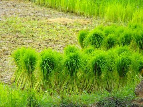 Petit traité sur le riz!