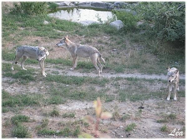 Animaux-4948-Loups-du-Gevaudan.jpg