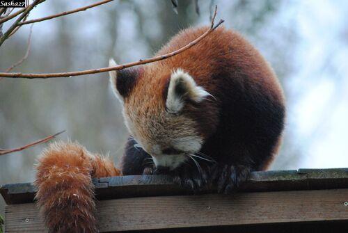La Panda Roux.