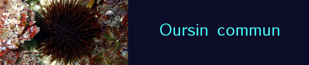 oursin commun