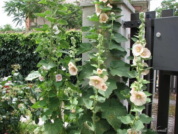Ingersheim : Les fleurs du jardin