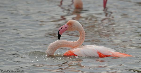 Le bain du Flamant rose