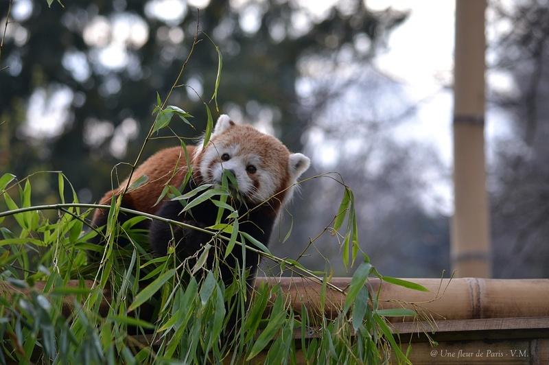 La Ménagerie du jardin des Plantes : Le Panda roux
