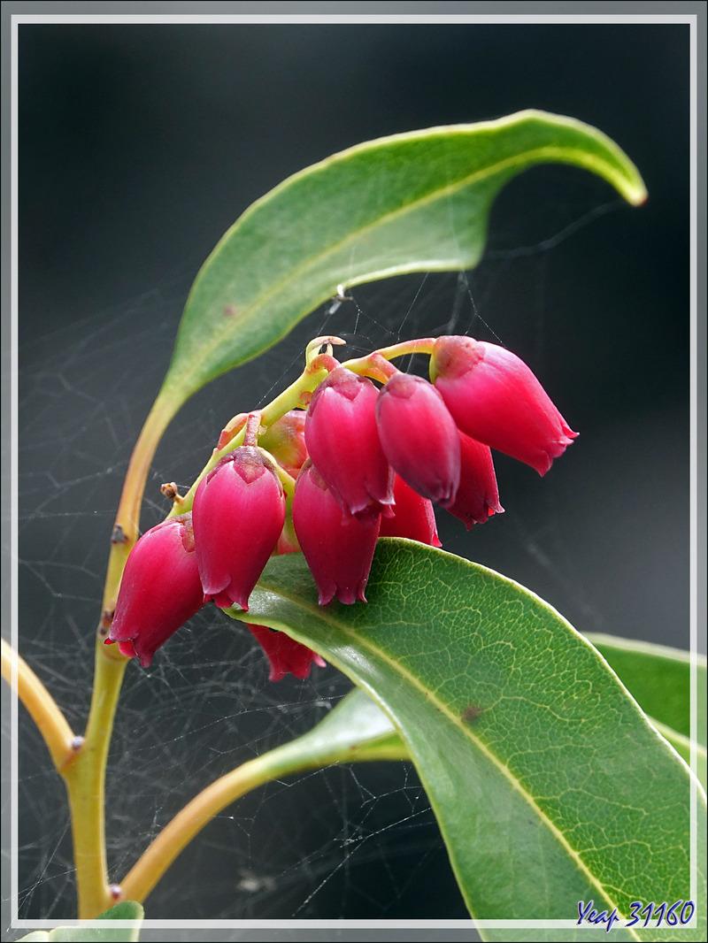 Agariste à feuilles de saule, Bois de rempart (Agarista salicifolia), pionnier de la colonisation des coulées de lave par les arbres - Saint-Philippe - Île de la Réunion