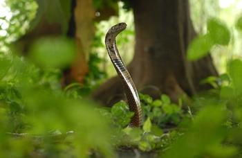 Cobra-des-forêts1