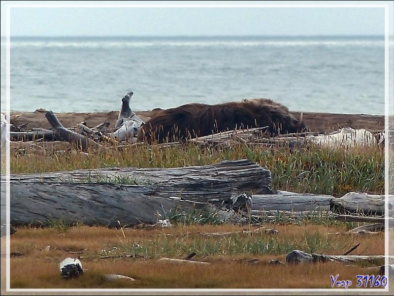 Marche dans la toundra embrumée - Herschel Island (Qikiqtaruk) - Yukon - Canada