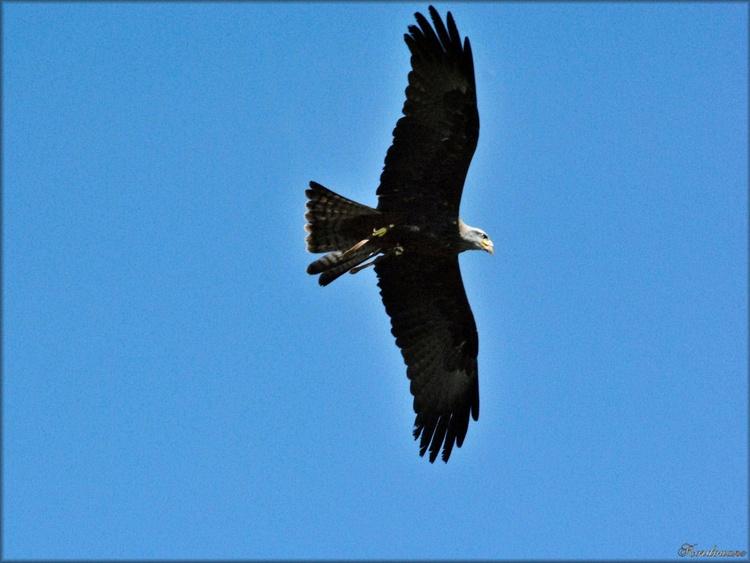 Photo de milan noir en vol au spectacle d'oiseaux