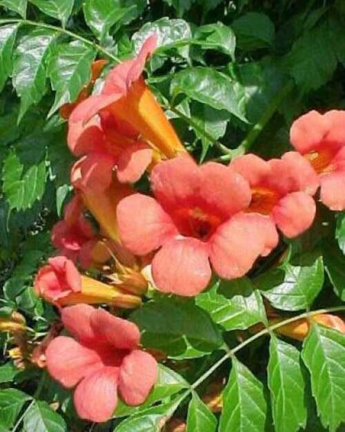 Fleurs cultivées : Bignone