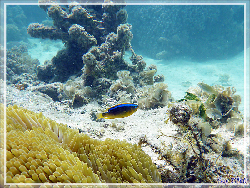 Demoiselle de Brownrigg, Surge damselfish (Chrysiptera brownriggii) - Moorea - Polynésie française