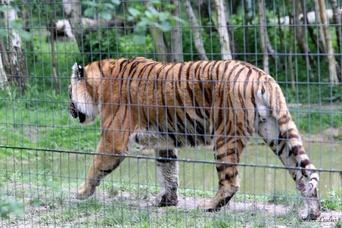 Tigre de Sibérie
