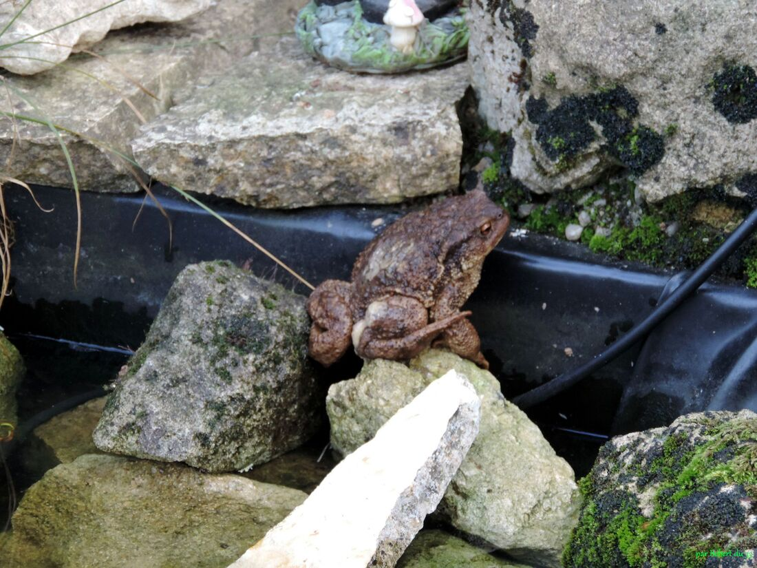 un crapaud dans notre jardin