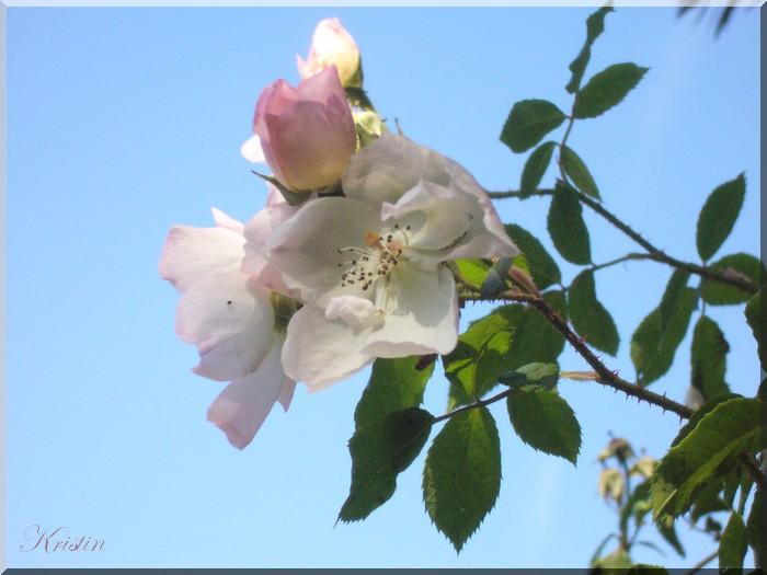 Roses et autres...