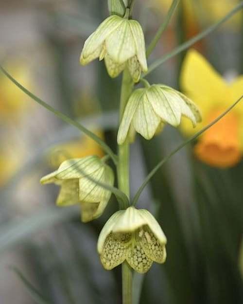 Fleurs cultivées : Fritillaire