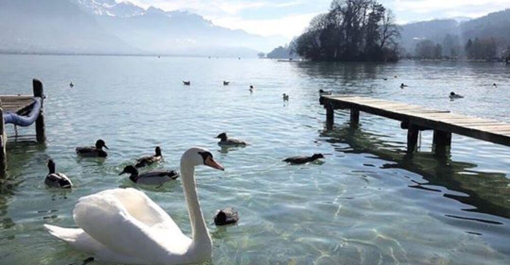 Le Lac d'Annecy avec ses cygnes et ses canards