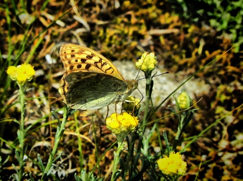 Papillon percher