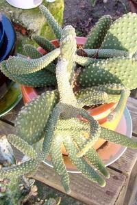 Opuntia Microdasys Pallida chez une amie