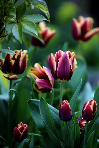 Tulipes 2019 : Gavota