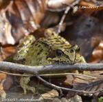 Photos Amphibiens