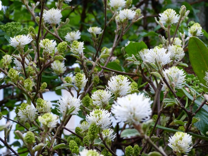 fothergilla major