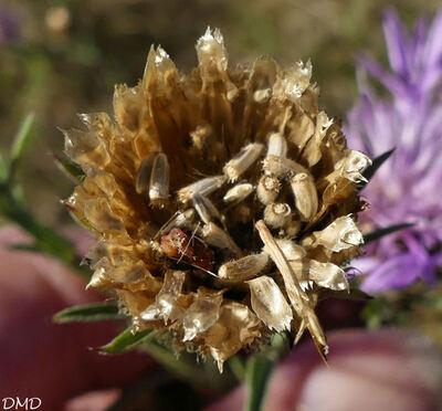 Centaurea jacea  -  centaurée jacée
