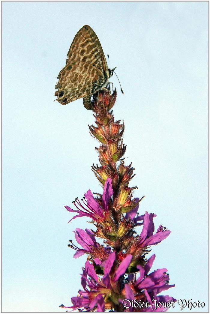 Azuré de la Luzerne (1) - Leptotes pirithous