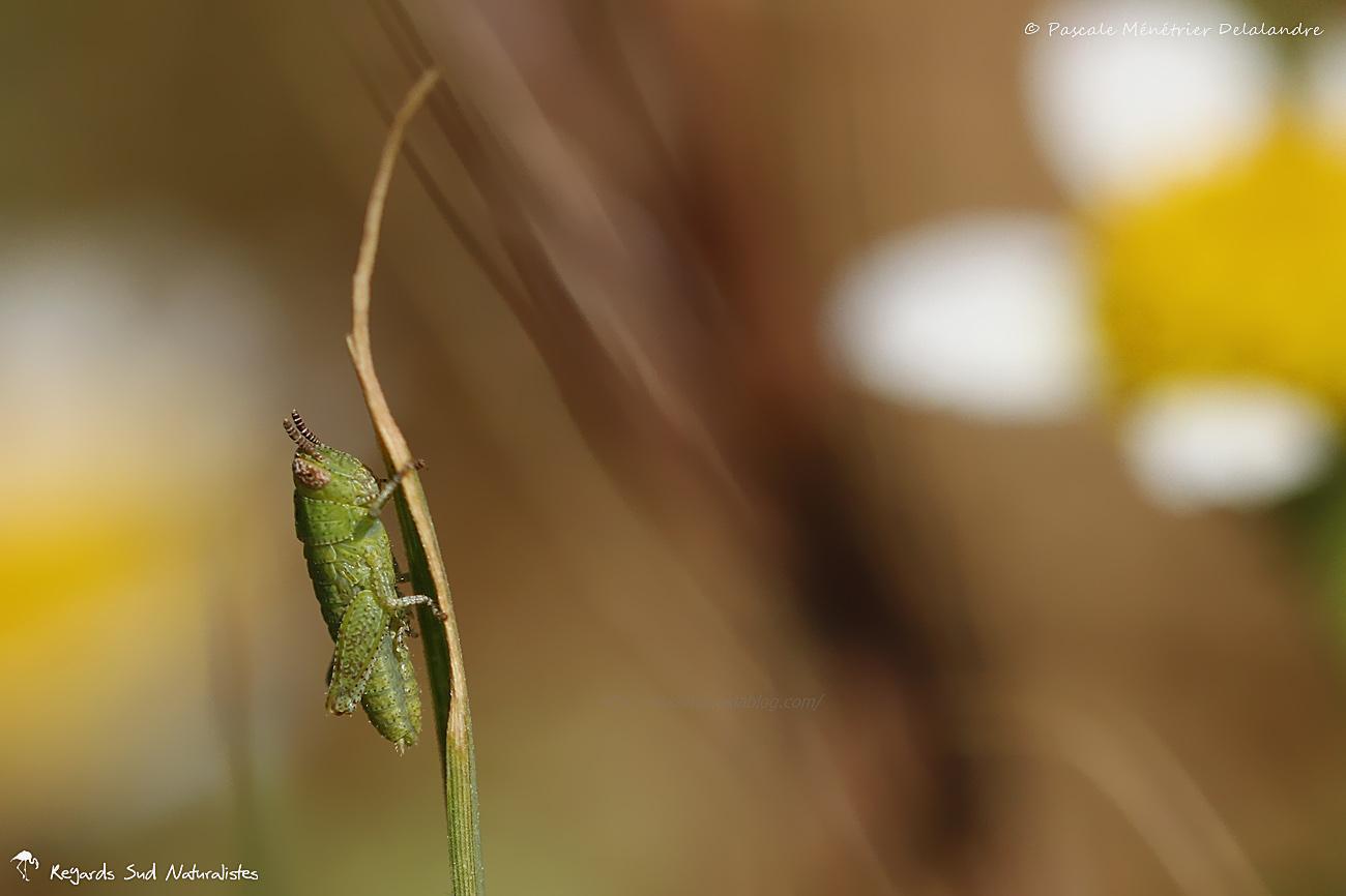 Criquet (Juvénile de Pezotettix giornae)