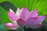 pourquoi Lotus?