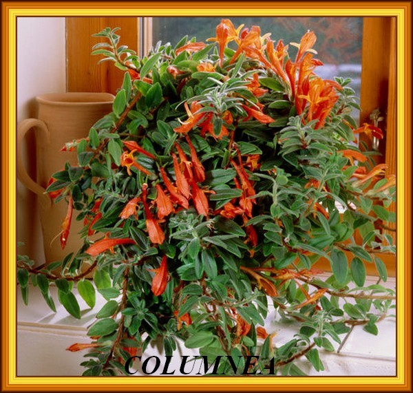 B5901548-Goldfish vine Columnea x banksii -SPL