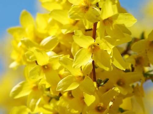 Fleurs cultivées : Forsythias